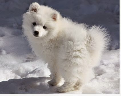 American Eskimo puppy playing in snow
