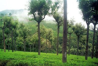 tea garden in Ooty