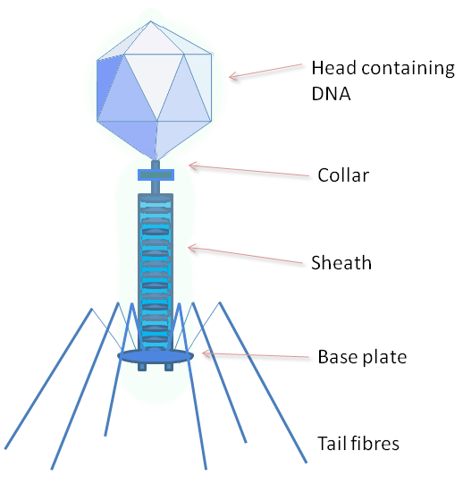 Image result for bacteriophage labelled