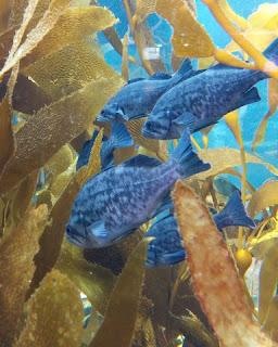 Bright blue fish in the Kelp Forest, Monterey Bay Aquarium, Monterey, California