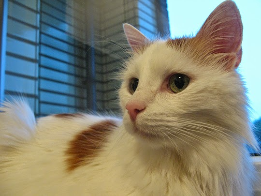 My Turkish Van cat Avalon one year ago