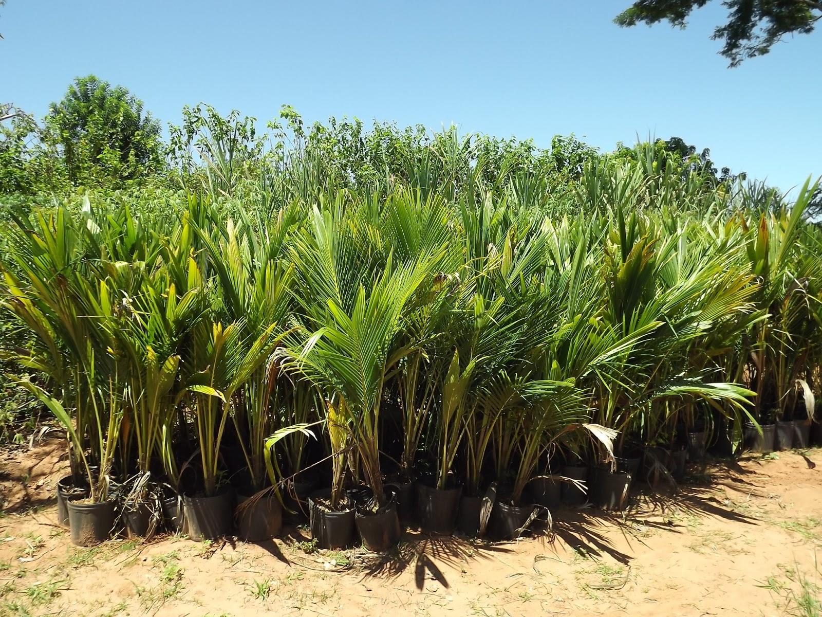 roubo de anao de jardim : roubo de anao de jardim:Coqueiro Anão – Vendas de Coco Anão: Coqueiro-anão tem cultivo