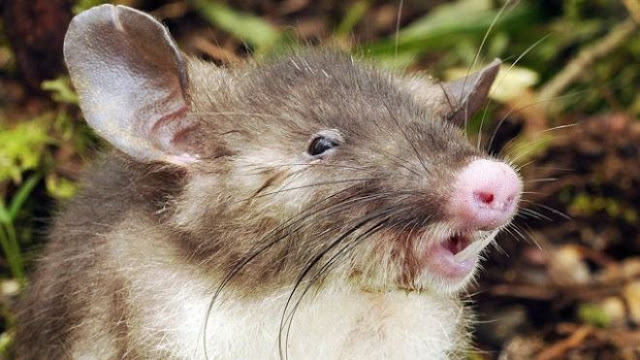 Ilmuwan Temukan Species Baru, Tikus Hidung Babi di Sulawesi Tengah