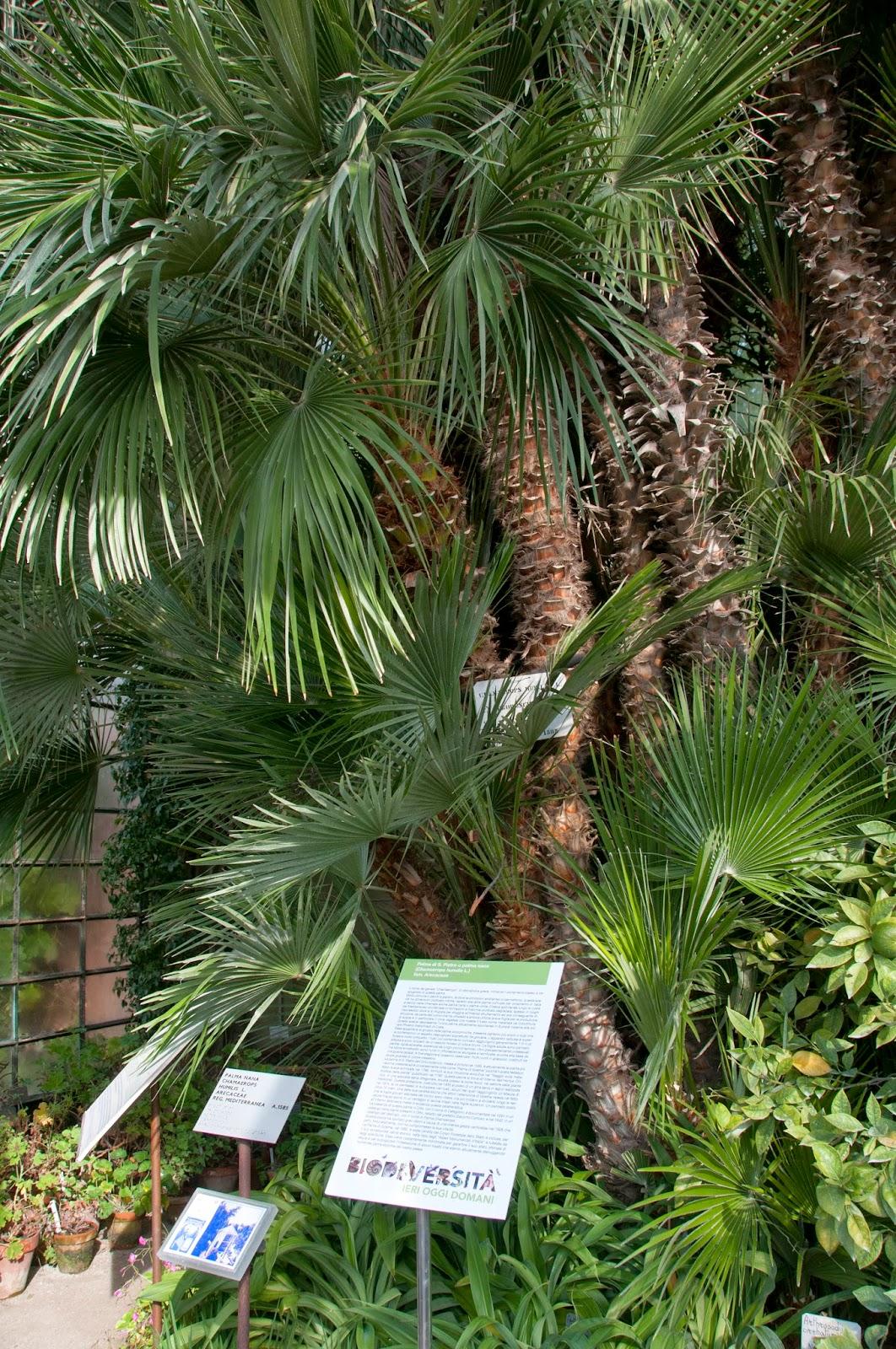 Ultimissime dall\'orto: La Palma di Goethe su Giardino Antico