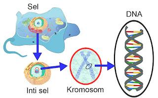 Letak kromosom