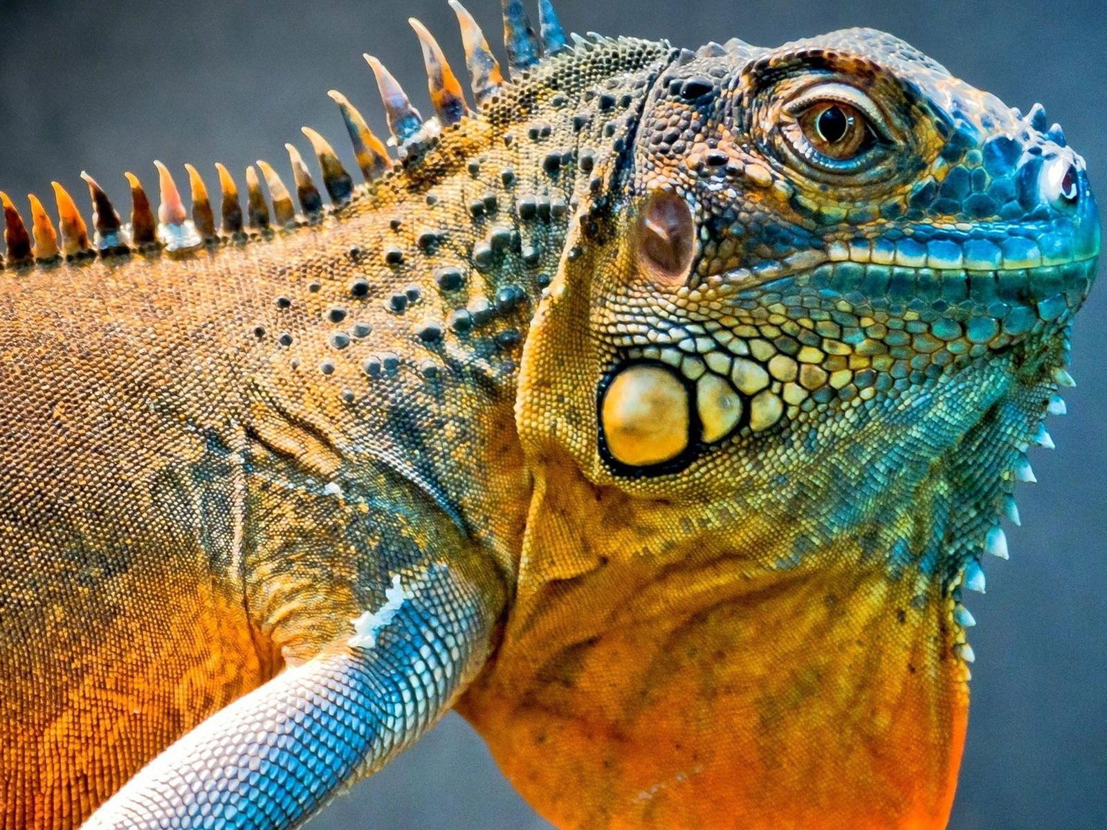 H D Reptiles Iguana Facts And Truth