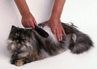 Cara Menyisir dan menyikat kucing
