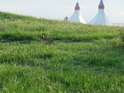 Black-Tailed Jack Rabbit and the Twin Peaks of the Shoreline Ampitheatre