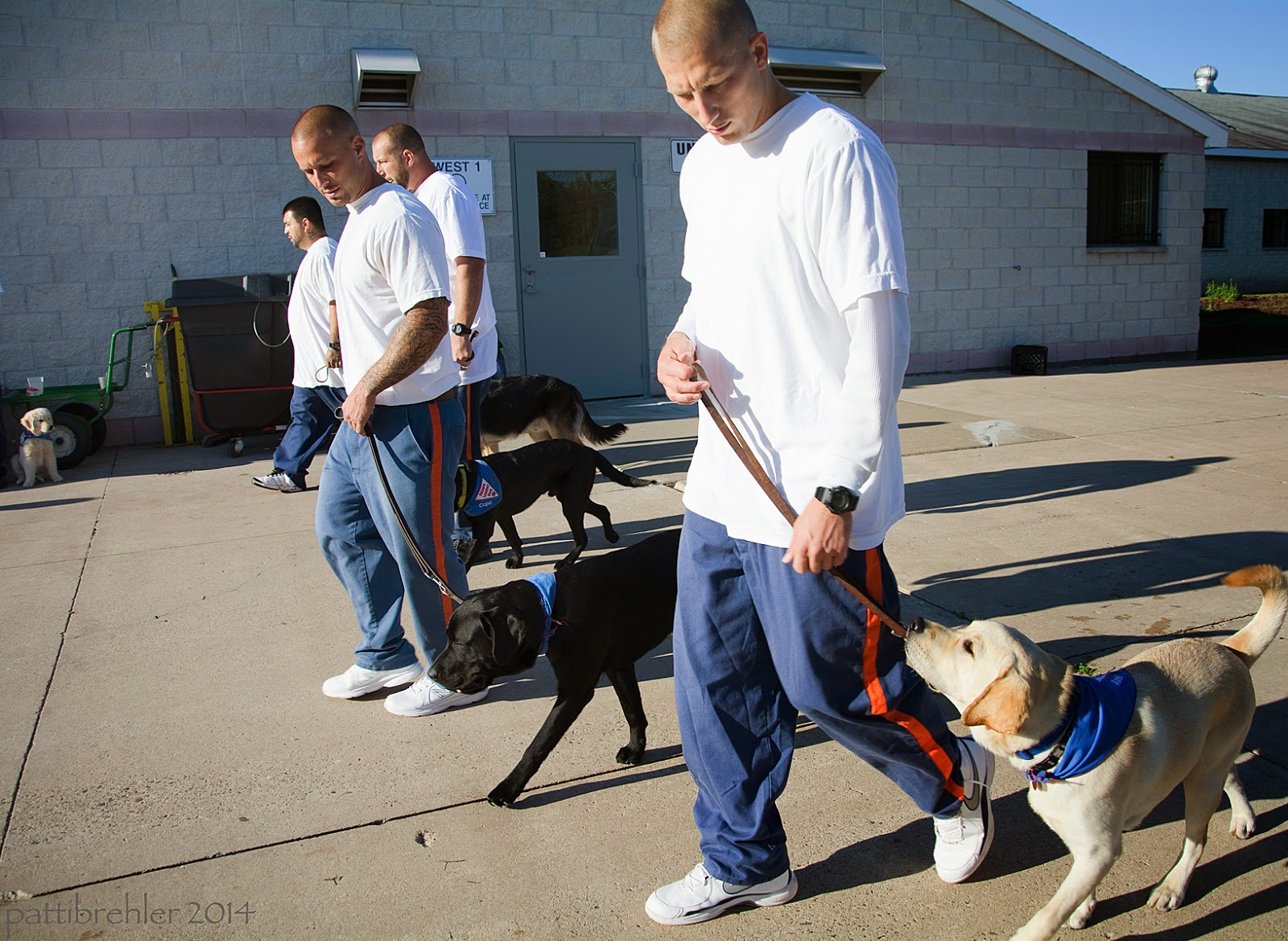 A line of four men are walking from right to left with puppies at their left side. All men are wearing the blue prison pants with white t-shirts. The man closest to the camera (on the right) is looking down at his yellow lab; the lab is looking up at him. The next two men in line have black labs and the last man has a german shepherd. The men are walking on pavement in bright sunshine in front of a white brick building. There is a dumpster in the background near the building on the left.