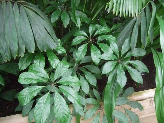 Tropical Schefflera at The Palm House, Kew Gardens London