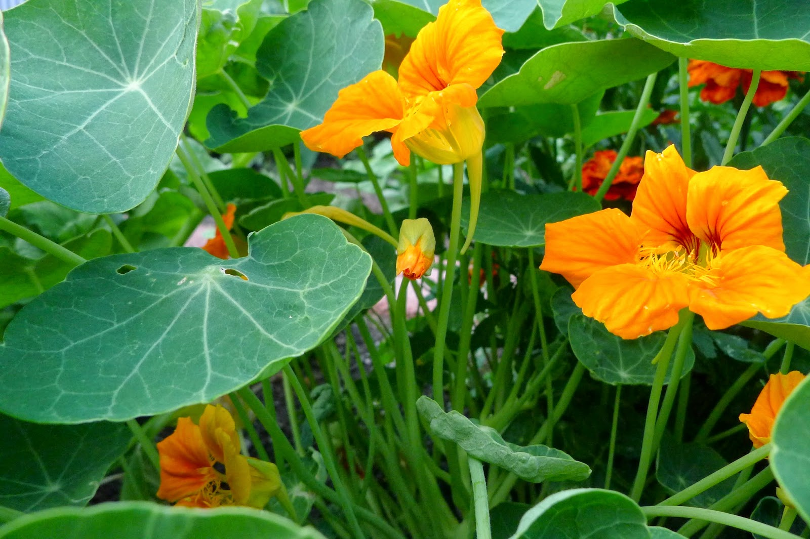 Nasturtiums, edible flowers