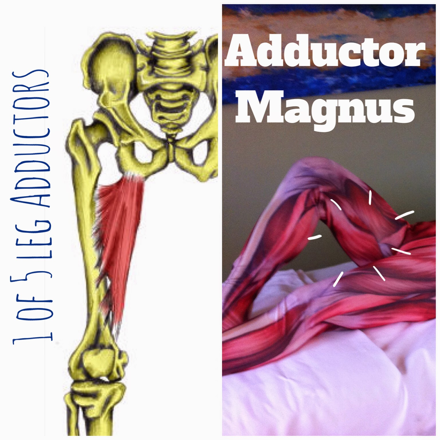 The Hip Joint: Adductor Magnus - 1 of 5 Leg Adductors