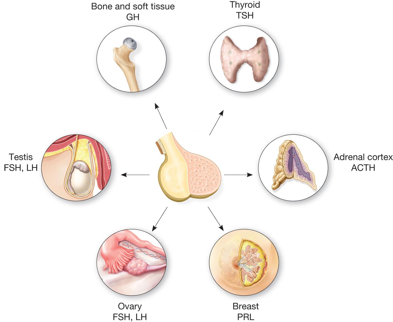 mad pre-med mnemonics : hormones of the anterior pituitary gland, Cephalic Vein
