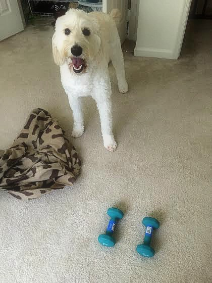 goldendoodle workout buddy