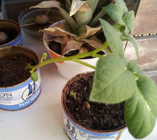 Photo des 3 pieds de pommes de terre, à gauche celui qui a été fait il y a 4 semaines, il a beaucoup grandi, son pot à semi lui est beaucoup trop petit. Il sera rempoté après la séance photos