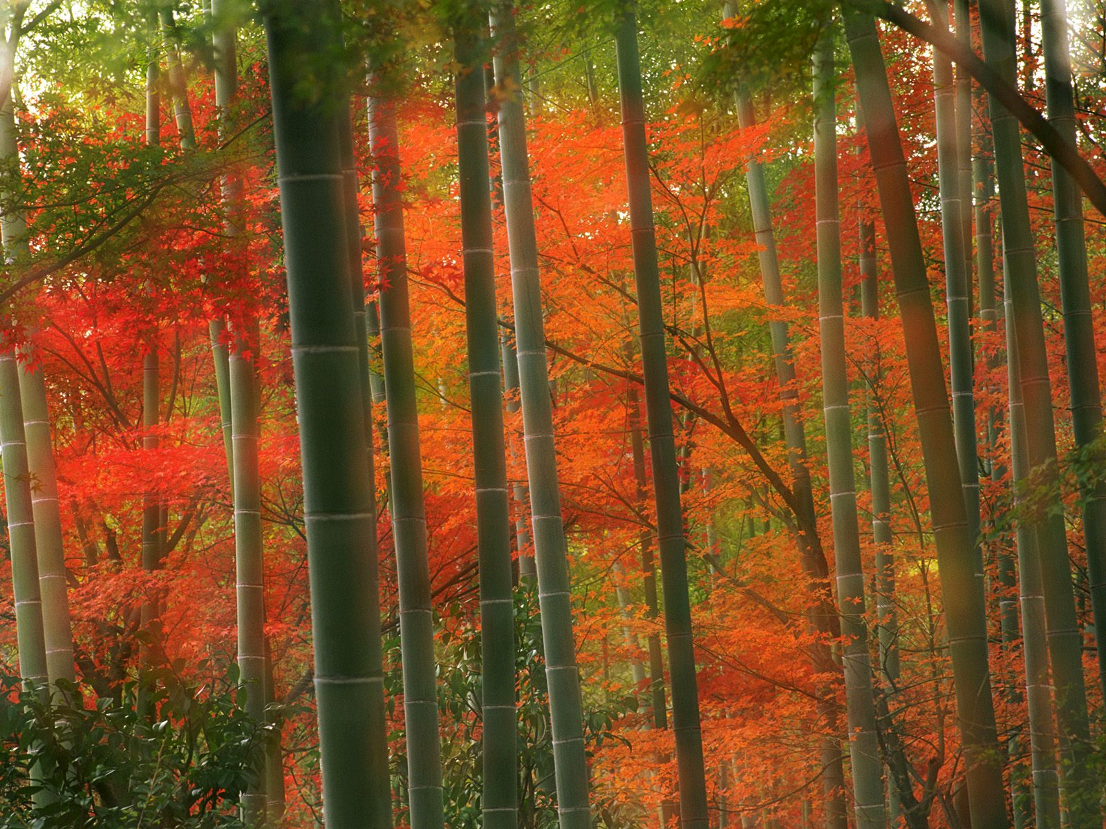 Bamboo wallpaper bamboo wallpapers collection 20 30 for Autumn forest wallpaper mural