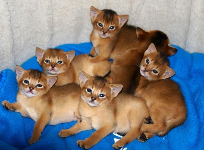 РэгдоллФотографии породы кошек Рэгдолл ХарактерРазмер