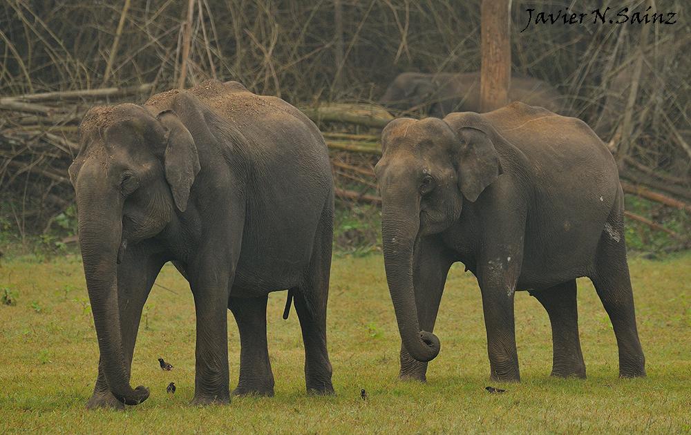 ELEFANTE ASIÁTICO, Elephas maximus | Fauna y fotografía