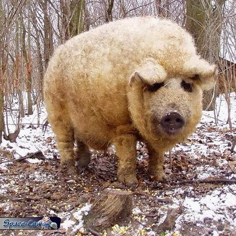 funny fluffy pig picture