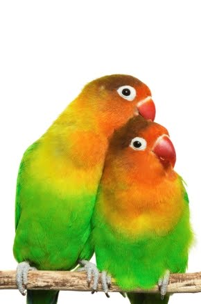 wallpapers of love birds. Birds Love Birds.