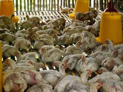 Jual Ayam Broile/Pedaging Mojokerto