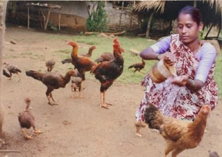 Asil Chickens
