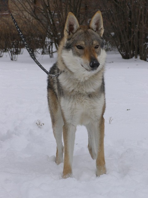 Silver czechoslovakian wolfdog - photo#2