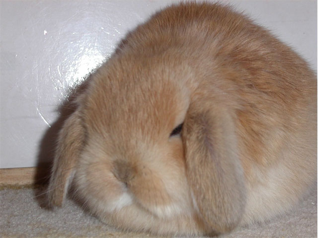 Cute sleeping rabbit.