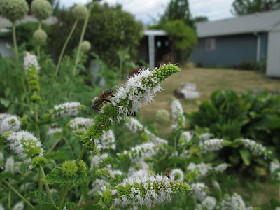 A honey bee on a flowering mint plant