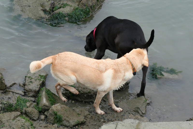 cabana standing behind a black lab who is on the edge of the water, she has her nose to his rump
