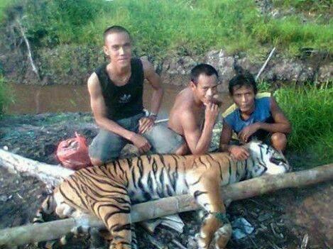 Foto perburuan harimau