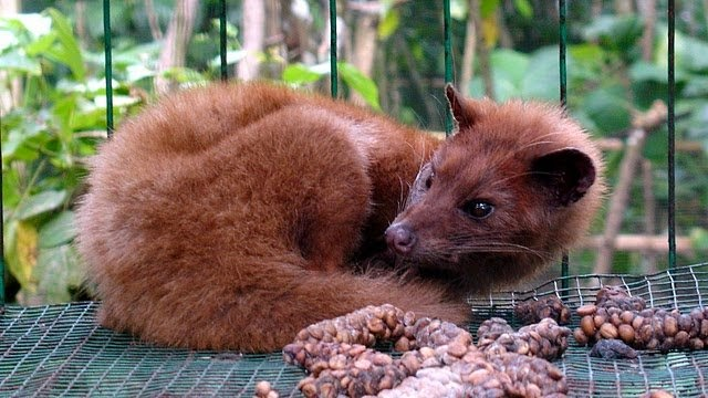 kopi luwak or civet coffee Kopi luwak, also known as civet coffee, is from indonesia, and the coffee beans are processed in a unique way which is the twist in the tale the beans are collected and processed from the poop of civet cats.