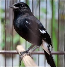 burung decu merupakan salah satu hewan peliharaan jenis