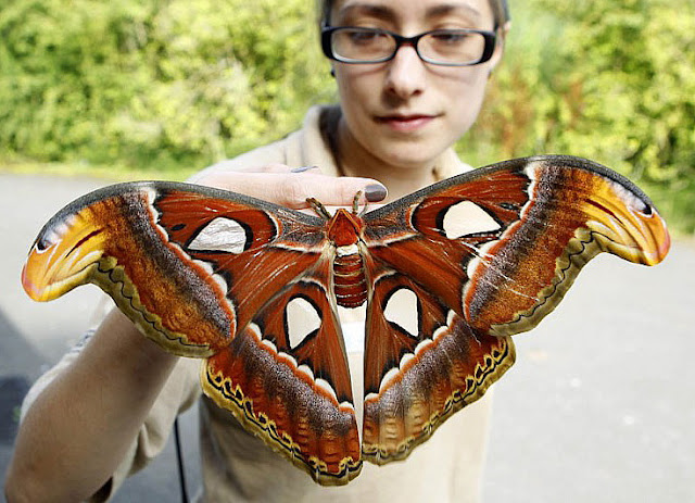 Largest moth in the world - photo#1