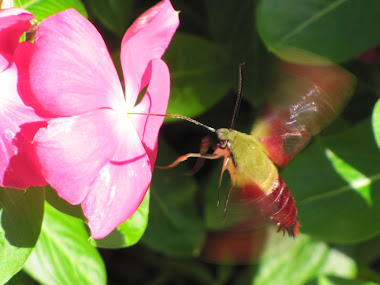 Hummingbird Moth Sipping Vinca