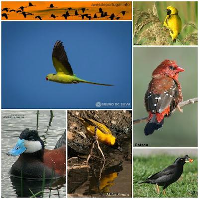 Curso de Identificação de Aves Exóticas Exoticas+Collage+3B