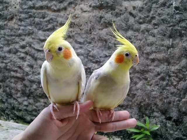 Foto Burung Falk Jantan