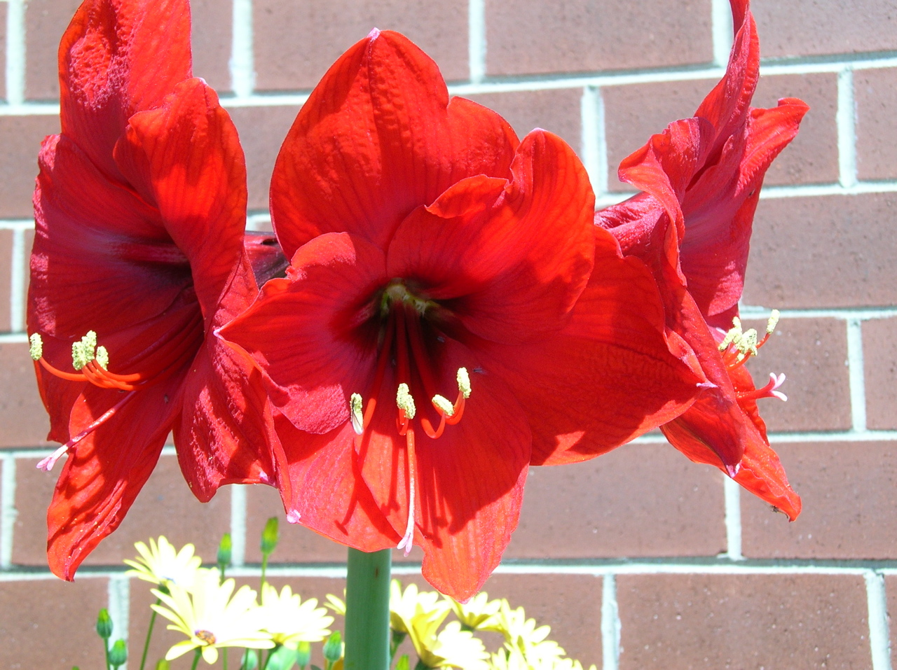 flowers for flower lovers Amaryllis Red Lion flower bulb Hippeastrum Ama