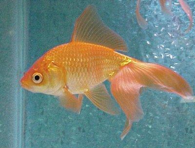 Fantail Goldfish 3