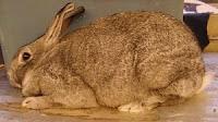 jenis-jenis kelinci, American Chinchilla