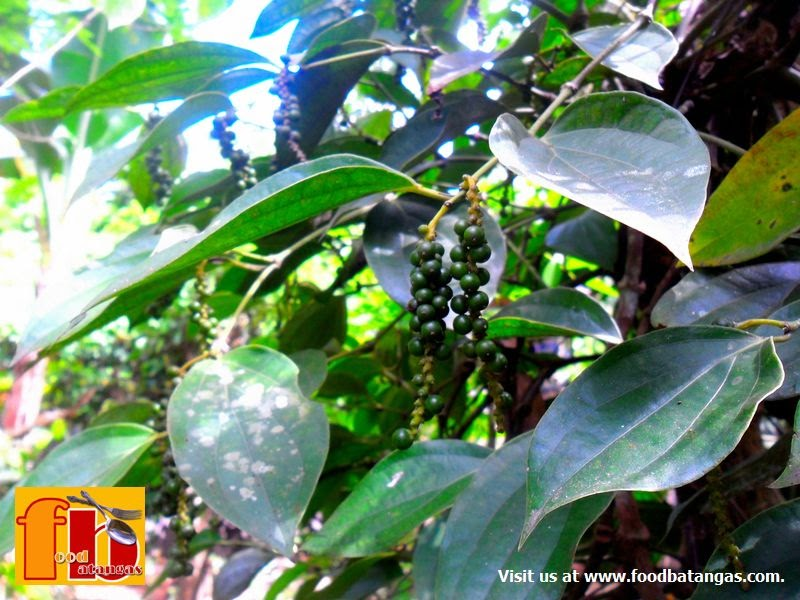 how to grow black pepper in pots