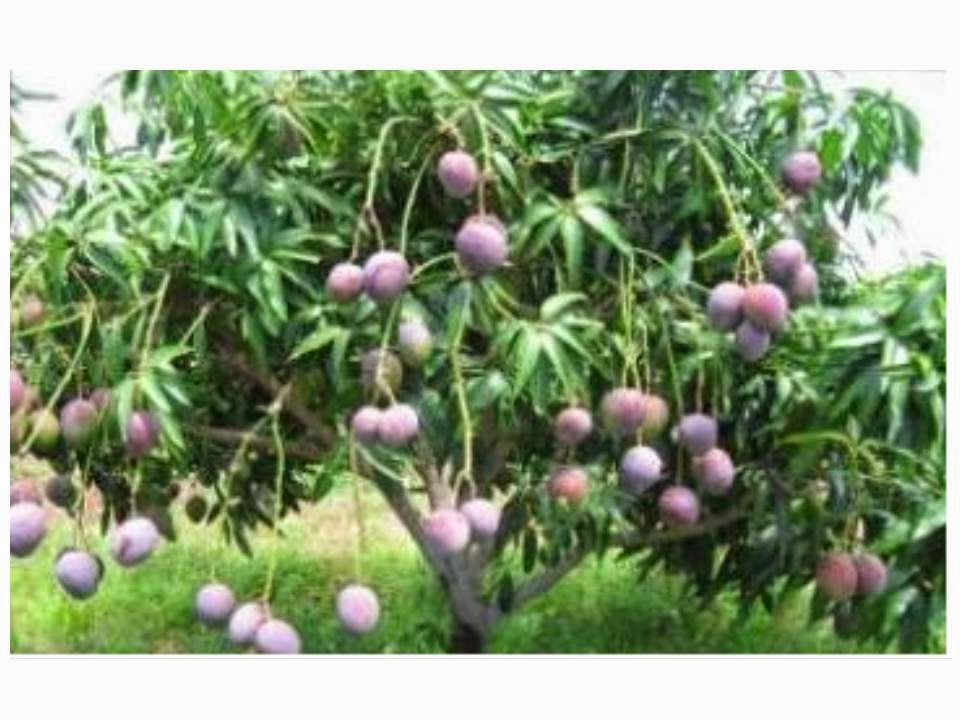 arbol de mango el rbol crece en pictures