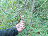 Wood Thrush being banded