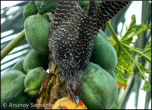 Avian Papaya Thieves caught red-handed again