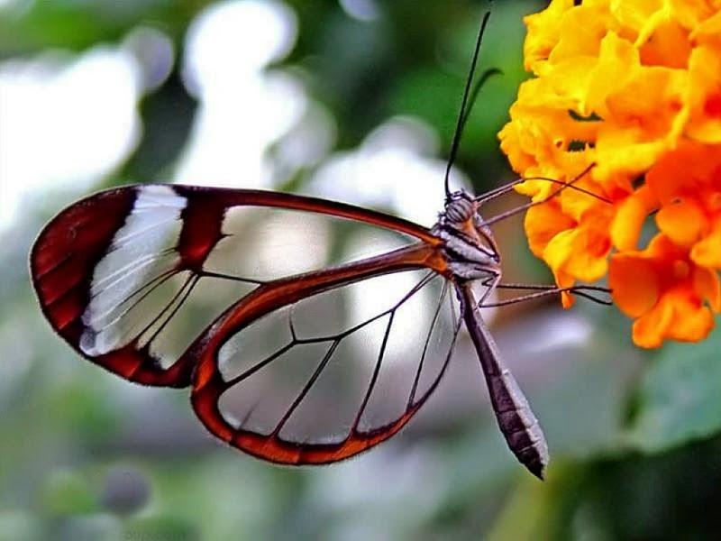 New Butterfly Beautiful Color Full Wallpapers In HD For Desktop - Butterfly wallpaper for computer desktop