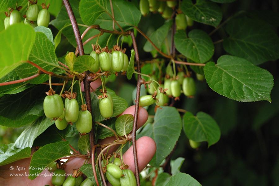 Актинидия коломикта (Actinidia kolomikta) в Курске