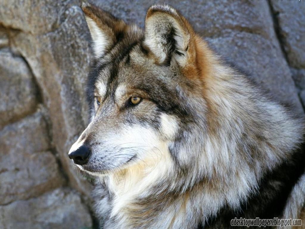 Must see   Wallpaper Horse Wolf - Free-Wolf-Animal-Desktop-Wallpapers-04  Pic_804316.jpg