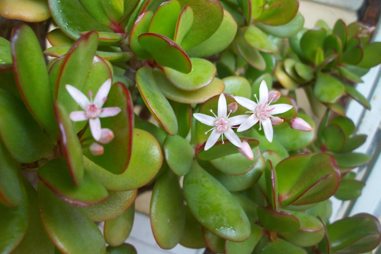 Цветы толстянка виды фото