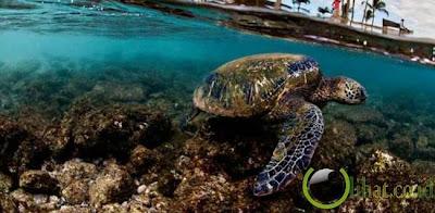 Hawai, Penyu Hijau