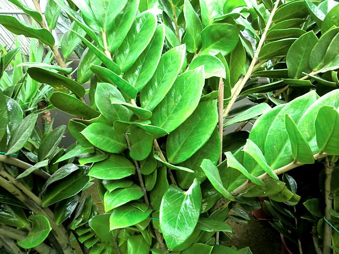 Hortus italicus zamioculcas zamiifolia lodd engl 1905 for Pianta da pavimento verde